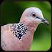 Download Suara Burung Tekukur||Dekukur 1.1 APK