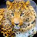 Download Wildlife Animals Puzzle 1.11 APK